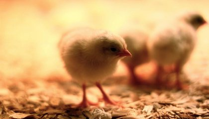 Egg Producers Pledge More Humane Fate for Male Chicks