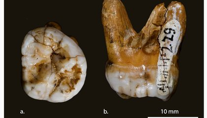 DNA from a Huge Tooth Confirms a New Ancient Cousin