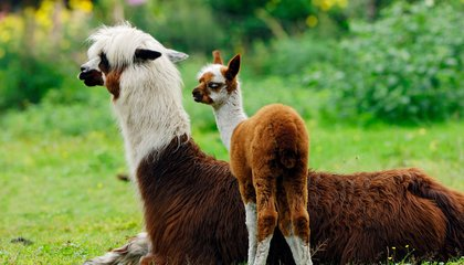 Why the Alpaca Has No Humps