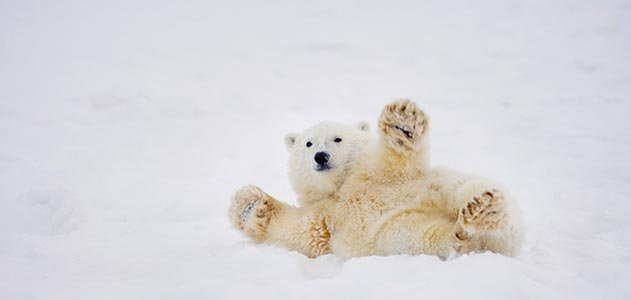 Polar bear cub at ANWR