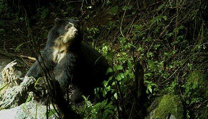 What Should Be Done With Yachak, the Cattle-Killing Bear of the Andes