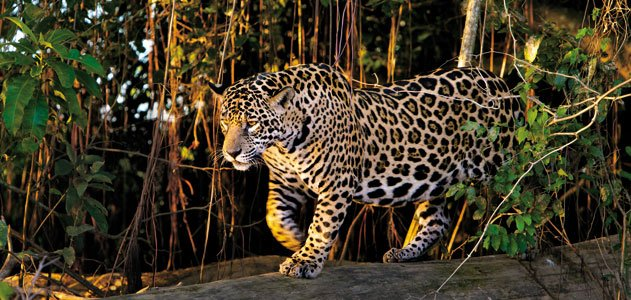 Female jaguar walking