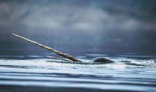 Narwhal in the Arctic Ocean
