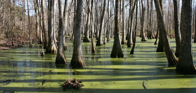 cypress swamps
