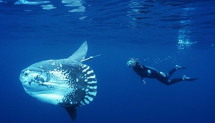 Ocean sunfish and Tierney Thys