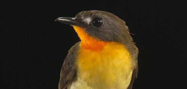 Olive backed Forest Robin