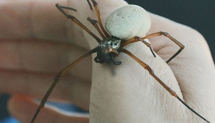 Urbanization Is Supersizing Spiders