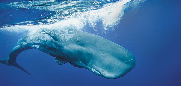 Consider, that how long do sperm whales live are