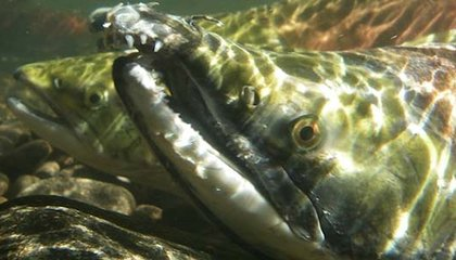 Salmon Swim Home Using Earth's Magnetic Field as a GPS