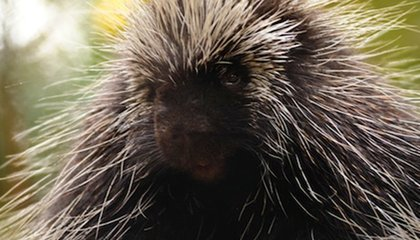 Could Porcupine Quills Help Us Design the Next Hypodermic Needle?