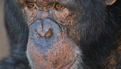 Which Primate Is the Most Likely Source of the Next Pandemic?