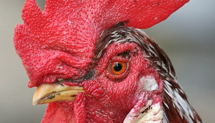 How Do Roosters Know When to Crow?