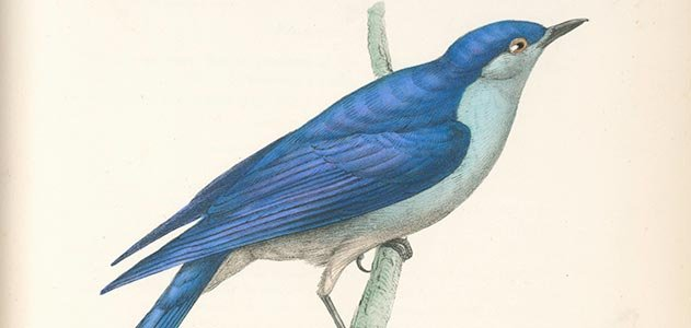 The Arctic Blue bird