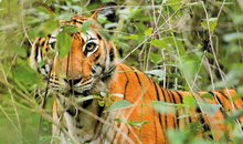Tiger in India Nagarhole National Park