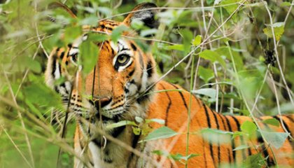 A Debate Over The Best Way to Protect the Tiger