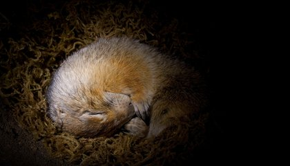 The Cutest Climate Change Culprits: Arctic Ground Squirrels