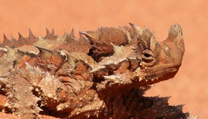 The Thorny Devil, an Alien in Our Midst