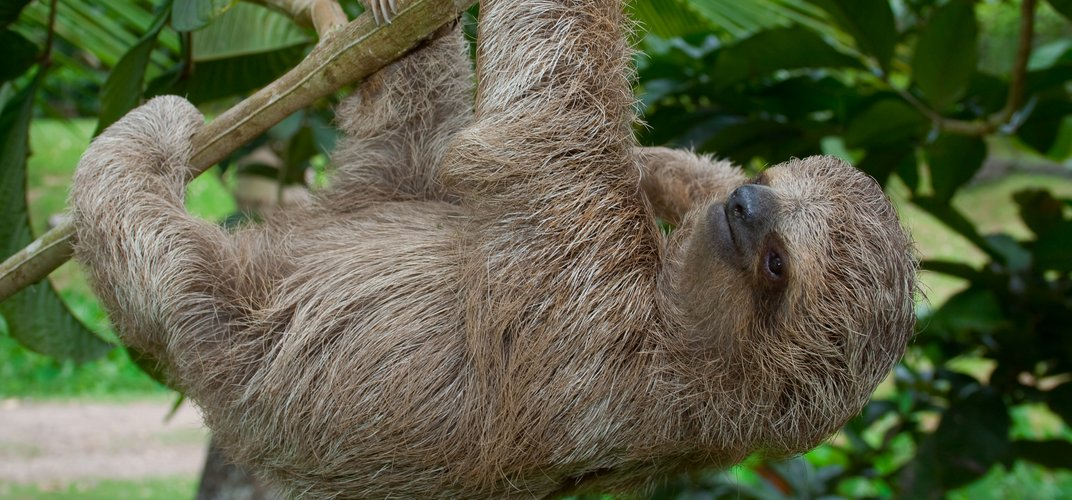 A sloth at home in the tree tops