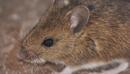 Mice Have Called Human Houses Home for 15,000 Years
