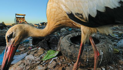 These Photographs Show the Bleak New Home for the White Stork: A Landfill