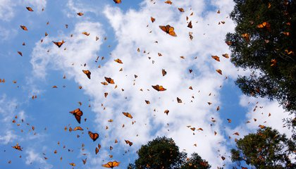 Where to See Thousands of Monarch Butterflies