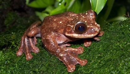 Adiós, Toughie: The Last Known Rabb's Fringe-Limbed Tree Frog Dies in Atlanta