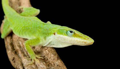 Invaders From Cuba Force Florida Lizards to Quickly Evolve (Or Get Out)