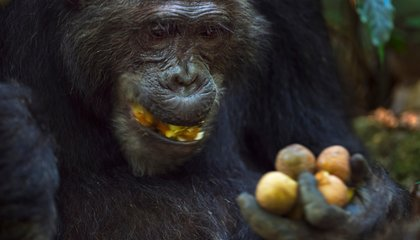 Chimps Will Work Harder to Get Their Favorite Foods