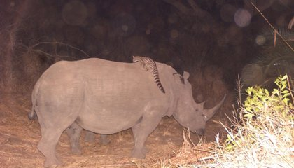 A Fuzzy Little Genet Is Hitching Rides on Rhinos and Buffalo, And No One Can Figure Out Why