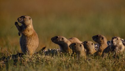 Social Networking Prairie Dog Style