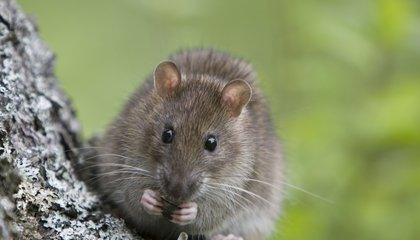 The Freezing Winter Forced New York's Rats To a New Food Source: Trees
