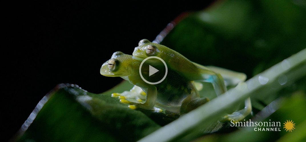 Caption: Fascinating: How Transparent Glass Frogs Mate