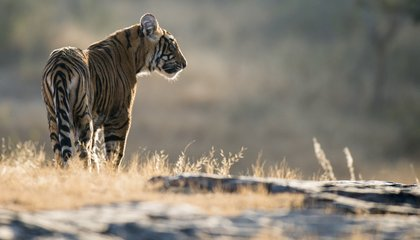 After Decades of Decline, Tiger Populations Could Be on the Rise