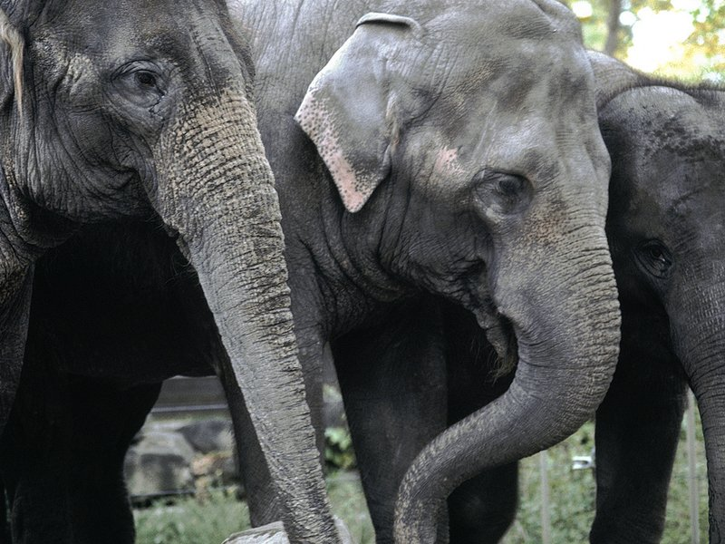 three female elephants