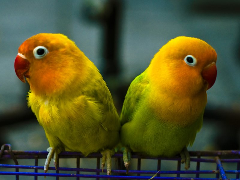 African lovebirds with name - photo#41
