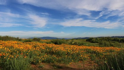 After Intense Downpour, Superblooming California Has a Problem