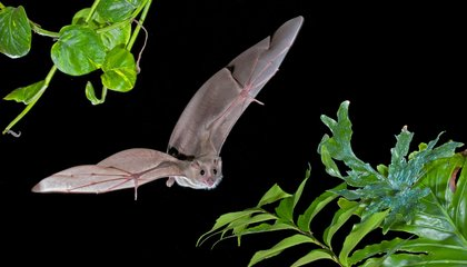 Bats Have Specific Brains Cells for Tracking Their Location While in Flight