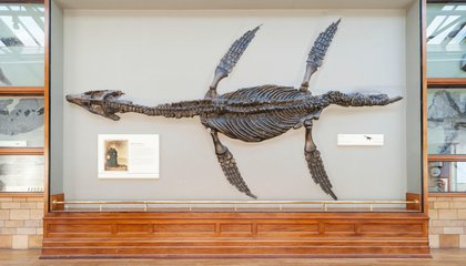 A Long-Necked Marine Reptile Is the First Known to Filter Feed Like a Whale