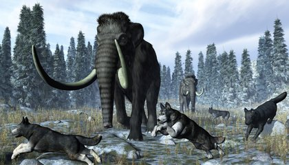 Domesticated Dogs Helped Kill Mammoths