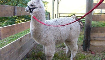 Americans Are Serving Alpaca for Dinner