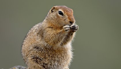 Arctic Squirrels Use Steroids to Bulk Up But Don't Suffer the Consequences