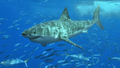 Rare Great White Shark Nursery Discovered Off the Coast of New York