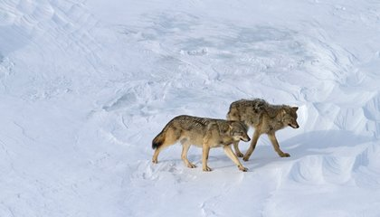 Park Service May Boost Wolf Pack on Isle Royale