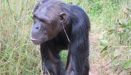 Some Chimps Are Putting Grass in Their Ears For No Particular Reason