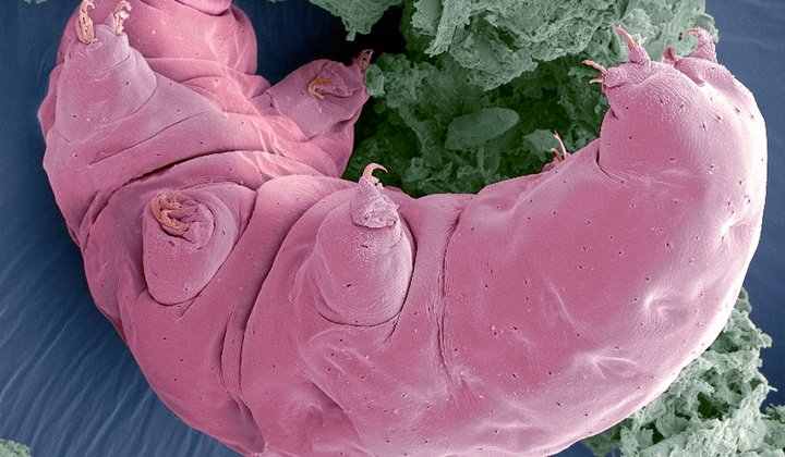 "Water Bears Turn to ""Glass"" to Survive Drying Out"