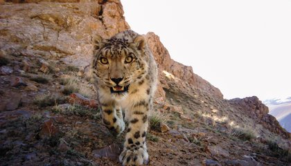 Hunters Become Conservationists in the Fight to Protect the Snow Leopard