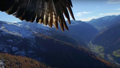 A Drone Encounters Two Eagles, and the Birds Win