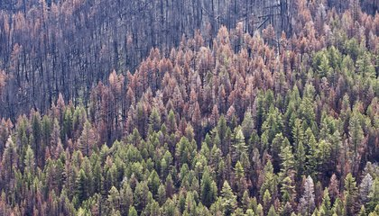Beetles Have Destroyed 38,000 Square Miles of Forest