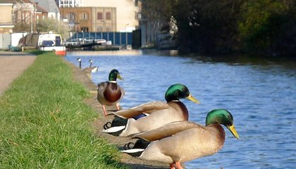 London Adds Special Lanes for Ducks