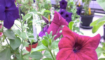 Would You Like to Grow Color-Changing Flowers?